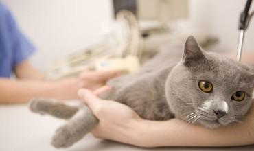Кастрація котів та стерилізація кішок. Чому це важливо?